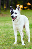Portrait of blue heeler or Australian cattle dog — Stock Photo