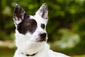 Portrait of blue heeler or Australian cattle dog with space for copy — Stock Photo