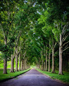 Rural road lined by oak trees — Stock Photo