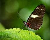 Macro image of Doris Longwing butterfly (Heliconius Doris) — Stock Photo