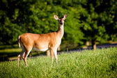 Portrait of pregnant whitetail deer doe, Odocoileus virginianus, grazing in field during spring — Stock Photo
