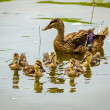 Baby mallard ducklings with mother in background — Stock Photo #26375557