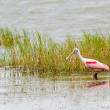 Roseate spoonbill, Platalea ajaja, wading in lake while feeding — Stock Photo