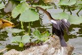 Anhinga (Anhinga anhinga) in Lakeland, Florida — Stock Photo
