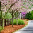 Residential sidewalk with blooming cherry trees during spring — Stock Photo