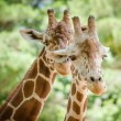 Stock Photo: Close up portrait of giraffe (Giraffcamelopardalis)