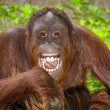 Portrait of Orangutan (Pongo pygmaeus) laughing with mouth wide open — Foto Stock