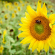Close up of sunflower in field with room for copy — Stock Photo