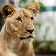 Portrait of African lioness lion (Panthera leo) — Stock Photo #28134997
