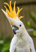 Portrait of Sulphur Crested Cockatoo (Cacatua galerita) — Stock Photo