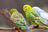 Colorful parakeets resting on tree branch — Stock Photo