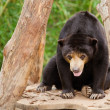 Malayan sun bear (Helarctos malayanus) — Stock Photo