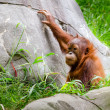 Portrait of baby orangutan (Pongo pygmaeus) — Stock Photo