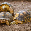 Radiated tortoises mating (Astrochelys radiata) — Stock Photo