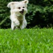 Maltipoo dog running and jumping in field with copyspace — Stock Photo