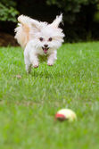 Portrait of maltipoo dog playing with ball in field — Stock Photo