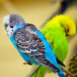 Colorful parakeet on tree branch — Stock Photo
