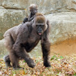 Lowland gorilla mother and infant riding her back — Stock Photo