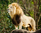 Male lion looking out atop rocky outcrop — Stock Photo