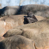 Young, lonely gorilla sitting on top of rocks — Stock Photo