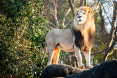 Male lion looking out atop rocky outcrop with copy space — Stock Photo