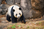 Portrait of giant panda — Stock Photo