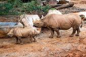 Black rhino mother and her calf — Stock Photo
