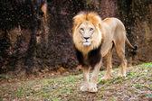 Portrait of male lion walking — Stock Photo