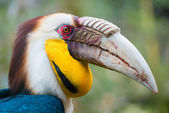 Phantasievoller hornbill (aceros undulatus) — Stockfoto