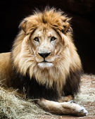 Portrait of male African lion — Stock Photo