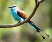 Racket-tailed Roller (Coracias spatulatus) perched on branch — Photo