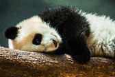 Baby panda cub resting on log — Stock Photo