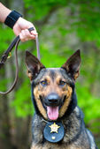 Portrait of working police dog — Stock Photo