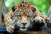 South American jaguar — Stock Photo