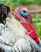Close up portrait of domesticated tom turkey — Stock Photo