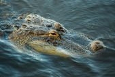 Close up of American Alligator, Alligator mississippiensis, in lagoon — Stock Photo