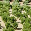 The rows of olive trees — Stock Photo
