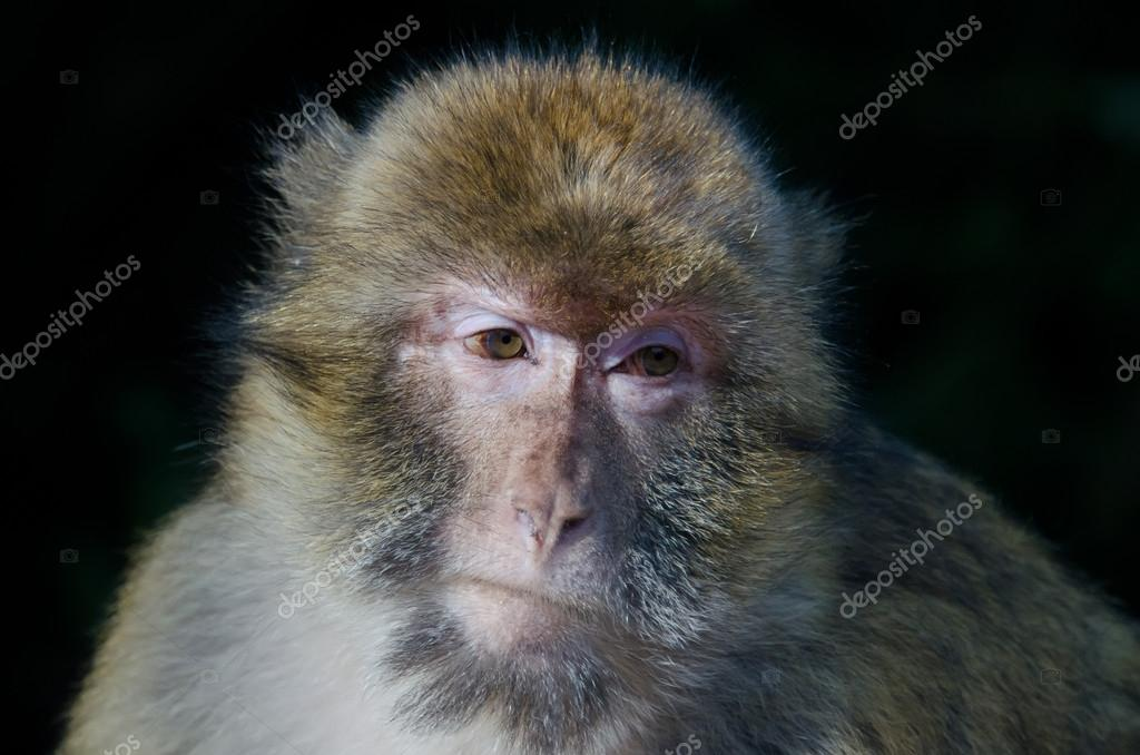 Barbary macaques — Stock Photo #16639831