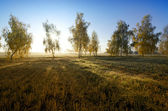 Birch and autumn sun — Stock Photo