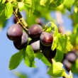 Stock Photo: The plums on plum tree