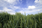 A wheat field in spring — Stock Photo