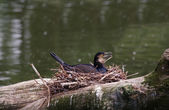 Cormorants in the nest — Stock Photo
