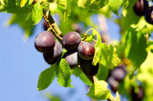 The plums on plum tree — Stock Photo