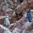 Humboldt Penguin — Stock Photo #25426943