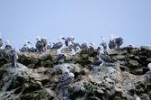 Gannet on ballestas islands — Stock Photo