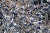 Birds on ballestas islands — Stock Photo