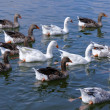 Flock of geese — Stock Photo