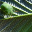 Stock Photo: Green stink bug
