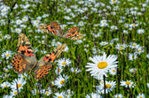 Butterflies and daisies — Stock Photo