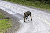 Moose across the road in Alaska — Stock Photo